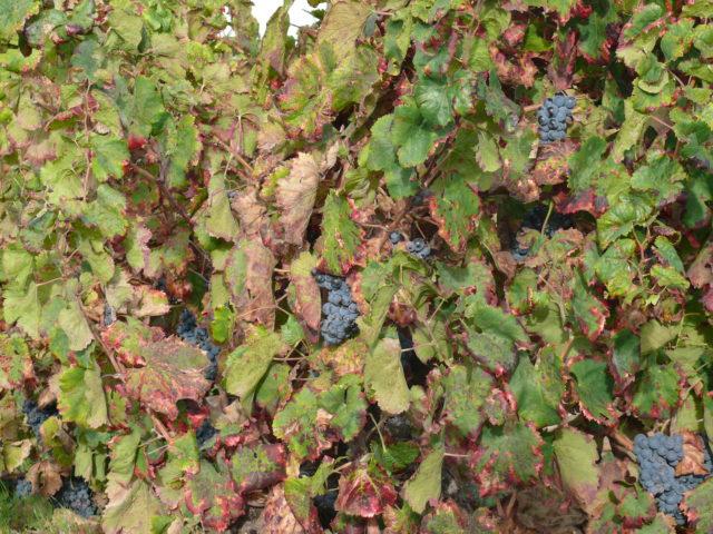 Najstarsze wino, które przetrwało do dzisiaj?