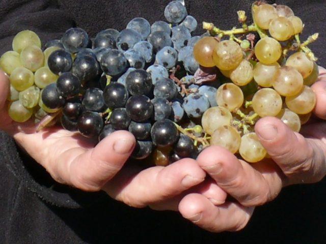 Czy wino można zrobić z winogron kupionych w sklepie?